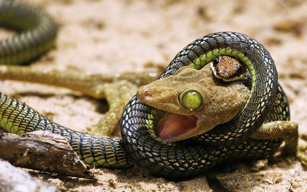 Serpiente cazando a una presa