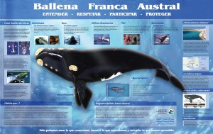 Ballena franca austral. Imagen tomada de Instituto de Conservación de Ballenas