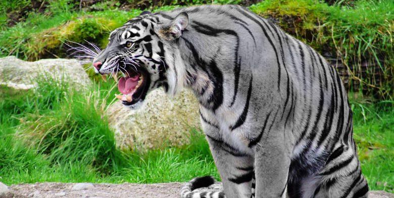 Tigres negros y azules