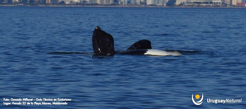 Arriban Ballenas a costas uruguayas
