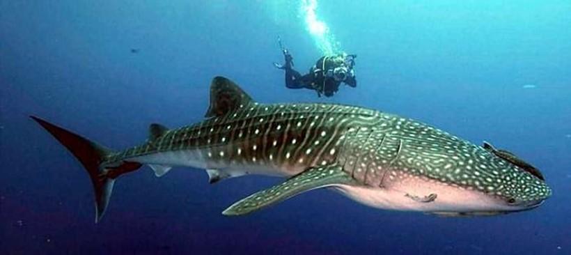 ¿Dónde puedes nadar con el tiburón ballena?