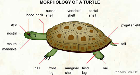 diagram turtle s head wiring symbol solenoid anatomy info