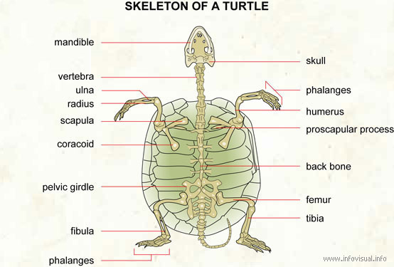 diagram turtle s head boat running light wiring anatomy info skeleton