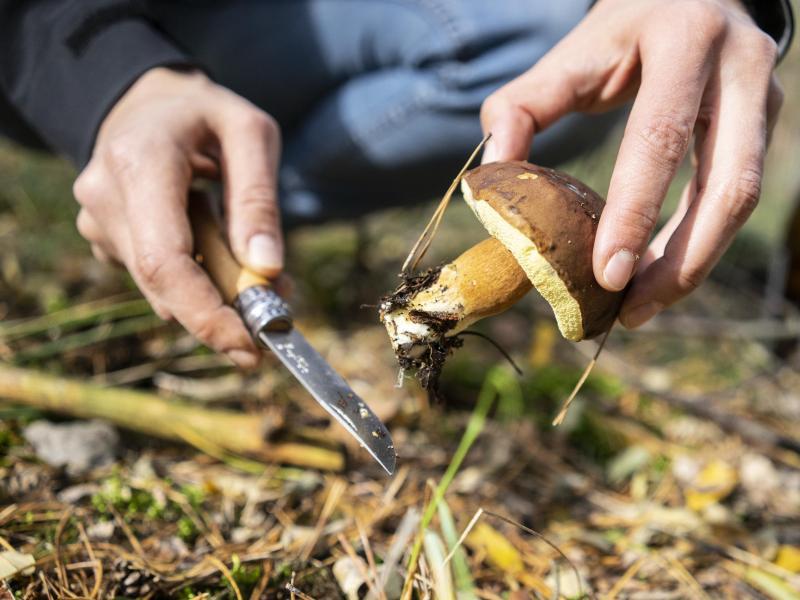 Will man feststellen, ob ein Pilz noch frisch ist, hilft der Drucktest am Hut: Zieht sich der Hut in seine Form zurück, ist er auch noch frisch. Foto: Robert Günther/dpa-tmn