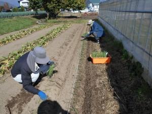 玉ねぎの定植   (公財)自然農法センター