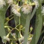 eucalipt