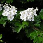 flori de paducel