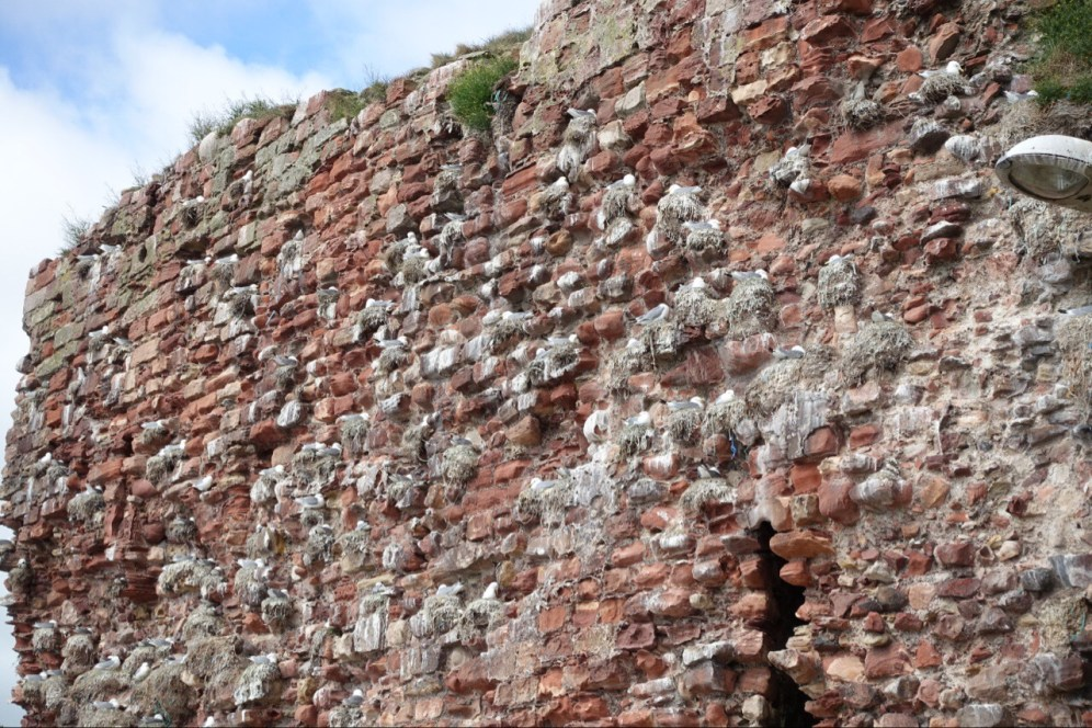 Dunbar - Seagulls nesting in old castle wall