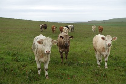 Curious cattle coming to see Inge, Orkney