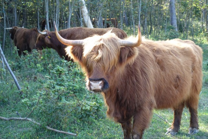 Long haired cattle in the dunes.