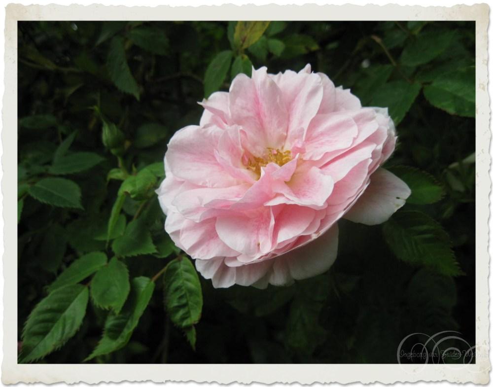 Pink climbing rose Kir Royal