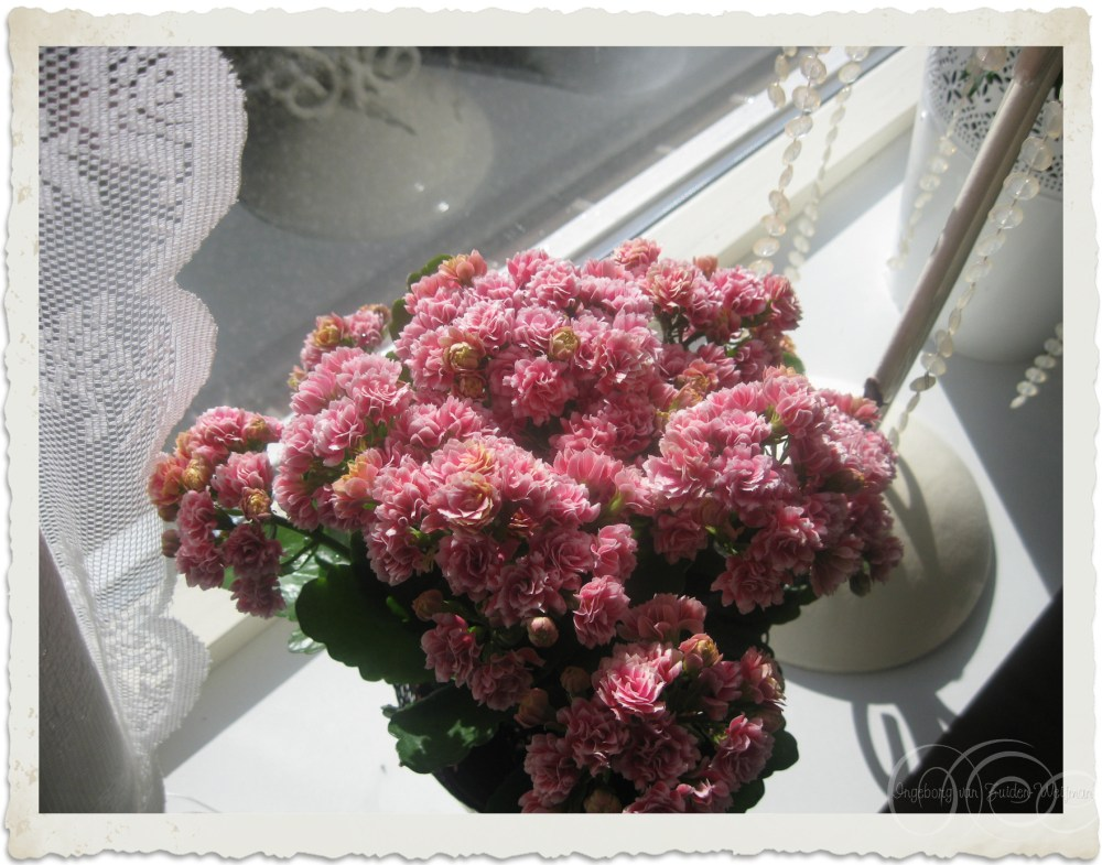 Pink double Kalanchoe flowers