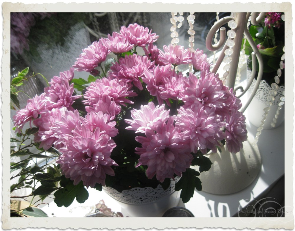 Mauve Chrysanthemum flowers in the window seal
