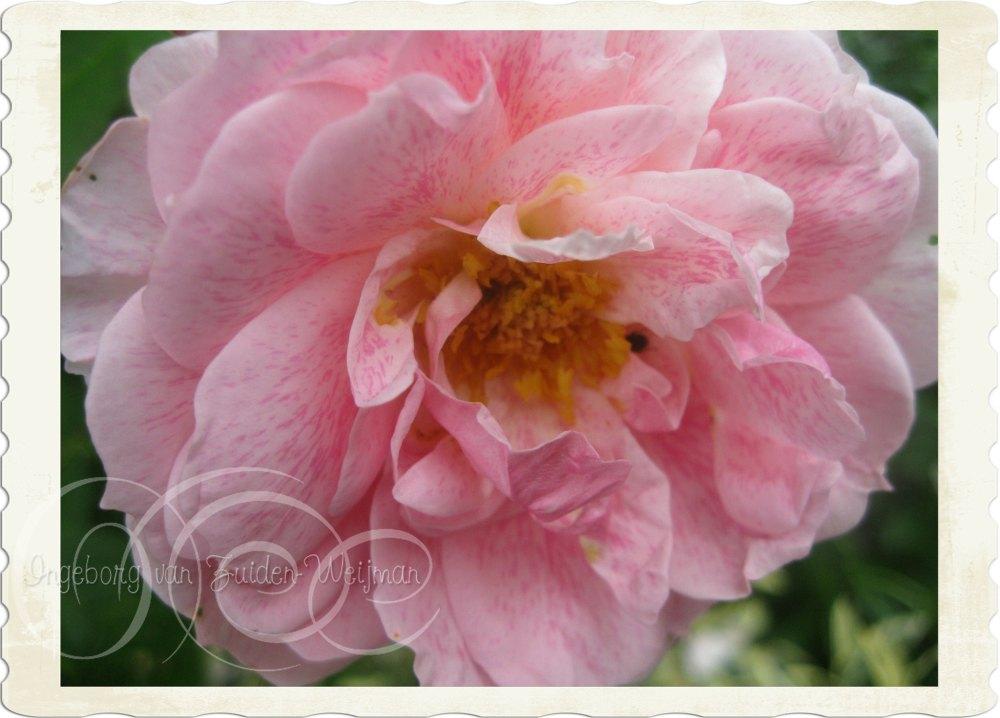Rosa Kir Royal by Ingeborg van Zuiden