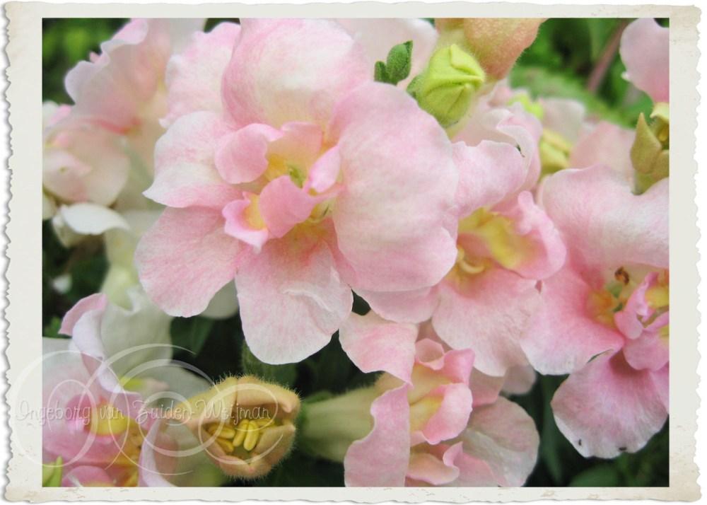 Pink Anthirrhinum by Ingeborg van Zuiden