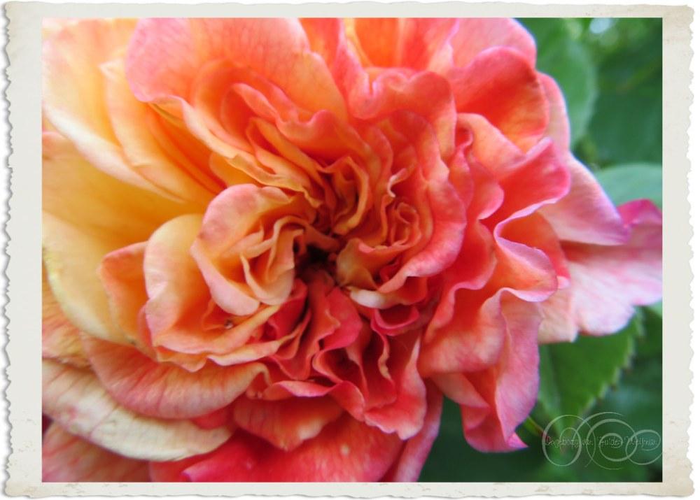 Rosa Aloha Kordes by Ingeborg van Zuiden