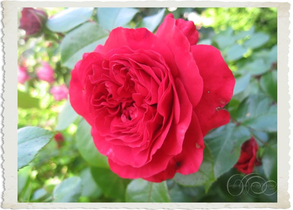 Rosa Leonardo Da Vinci Red