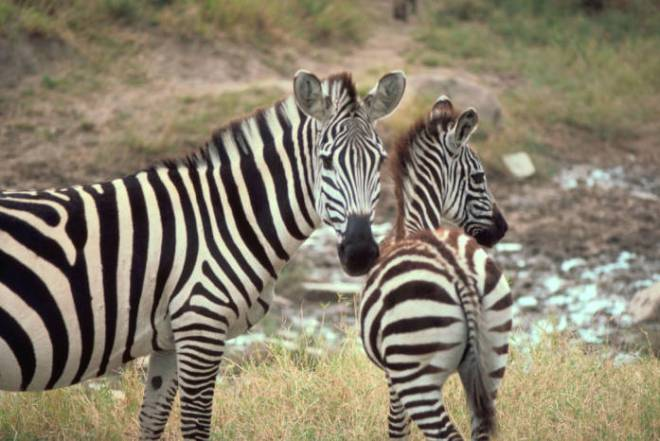 zebras by Gary M. Stolz