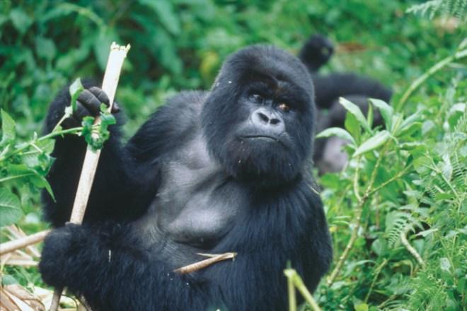 silverback gorilla by Richard Ruggiero