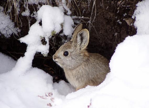 pygmy rabbit by H. Ulmschneider (BLM) & R. Dixon (IDFG)