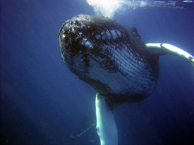 humpback whale image by NOAA