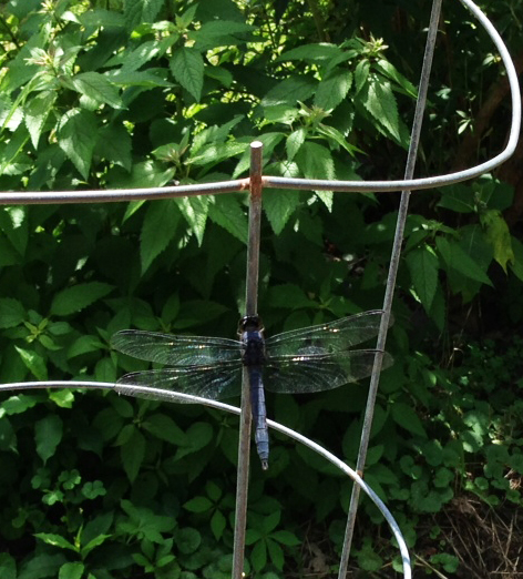 dragonfly.janet.blue