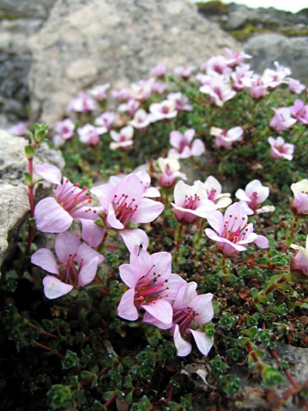 MichaelHaferkamp.PurpleSaxifrage