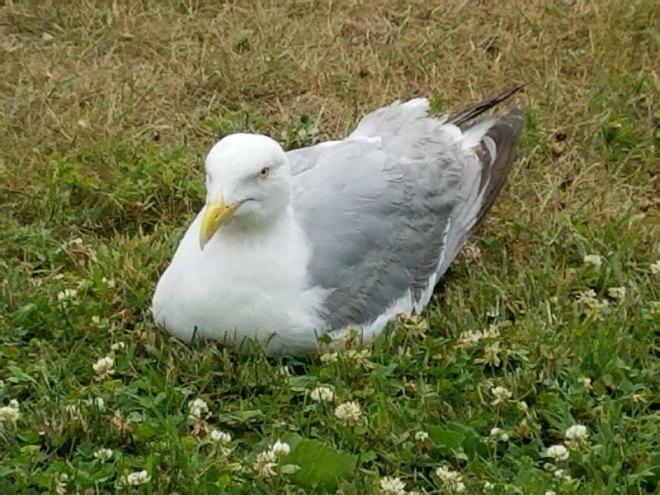 7.1.16.gull.foot.800