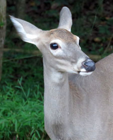 white-tailed deer by Barbara Rodgers