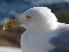my old gull friend by Barbara Rodgers