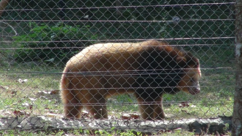 Underlig bjørn, Cambodia
