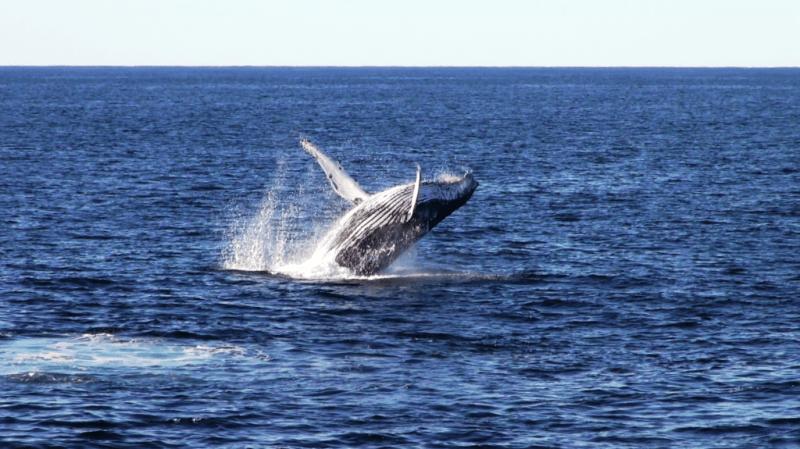 Humpback, whales, australien, pukkelhvaler, gold coast