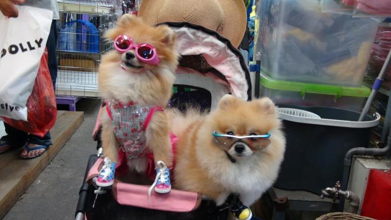 Bangkok, thailand, pink hunde