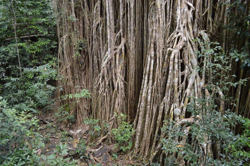 Et af figen træerne