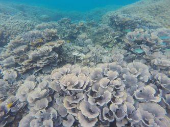 Blomkåls koraller I Pemba bugten