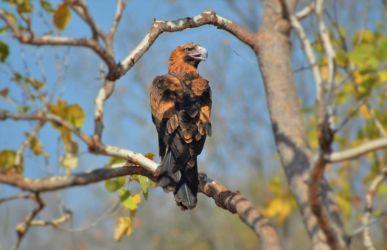 Australien, ørn, eagle, vildt