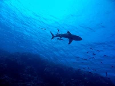 Tiburón Inglaterra