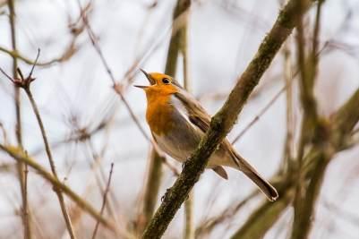 pájaros cantores Inglaterra
