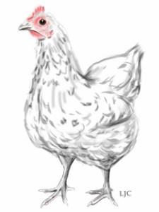Australorp chicken by Linda Coleman.