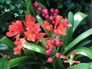Clivia miniata. I put these out for the summer but they have to come inside for the winter before the first frosts.