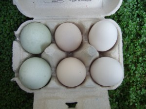 Linda's eggs: left to right blue ones