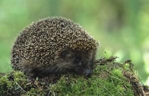 Hedgehog (Erinaceus europaeus). Photo by Marek Szczepanek.