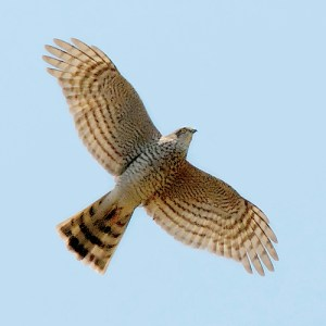 Sparrowhawk (Accipiter nisus) in flight, seen from underneath. Photo by Christian Knoch.