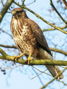 Buzzard (common buzzard, Buteo buteo). Photo by Arend.
