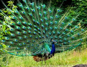 Peacock in display. Photo by N A Nazeer.