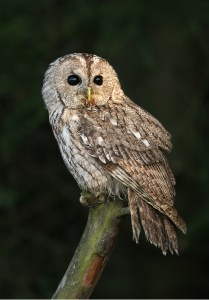 Tawny owl (Strix aluco). Photo by Martin Mecnarowski.