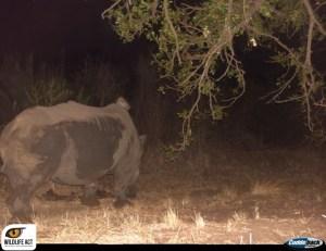 Genet-rhino_4_watermark-1024x790