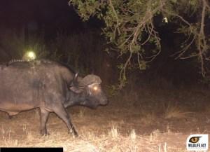 Hluhluwe-Buffalo-and-Genet-5_edited_watermark