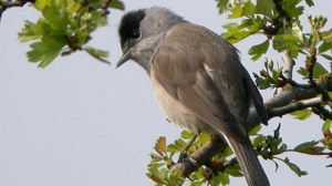 Male blackcap - well-named! Photo by Katie Fuller.