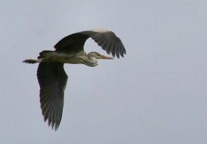 Grey heron in flight. Photo by Paweł Kuźniar.